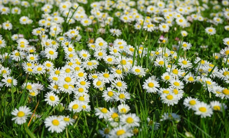 Photo of Yard and Garden Perennial Flowers: Interesting Facts about Daisies