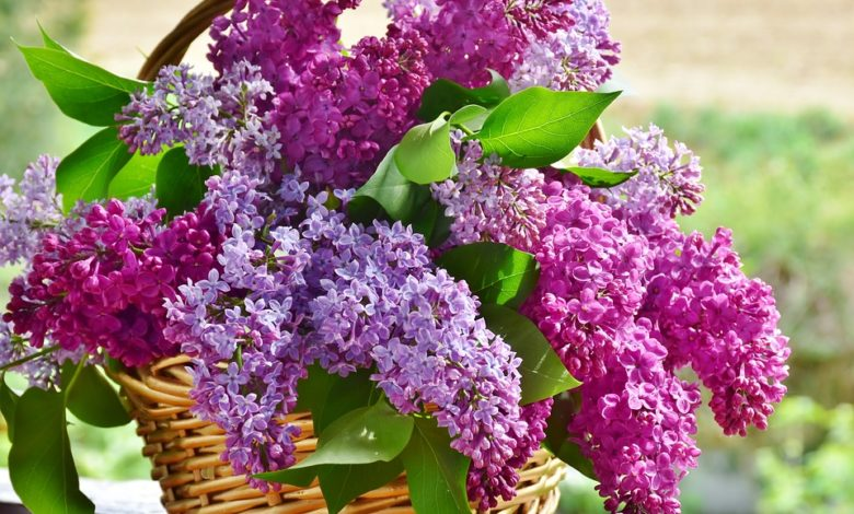 Photo of Yard and Garden Perennial Flowers: Interesting Facts About Lilacs