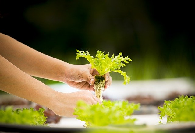 Growing Hydroponic Lettuce is Easy for Beginners