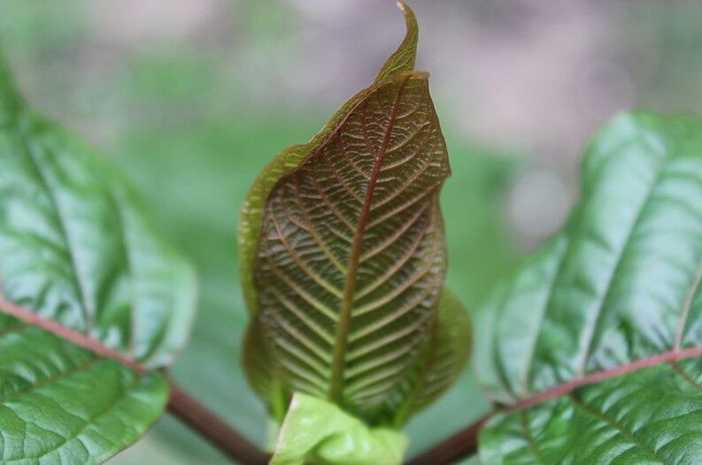 Which Kratom strains are best for back and muscular pain?