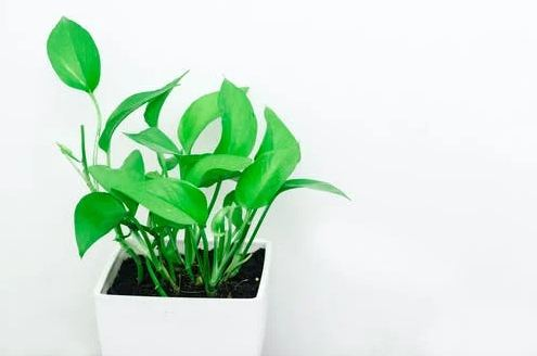 A pothos plant in a white container