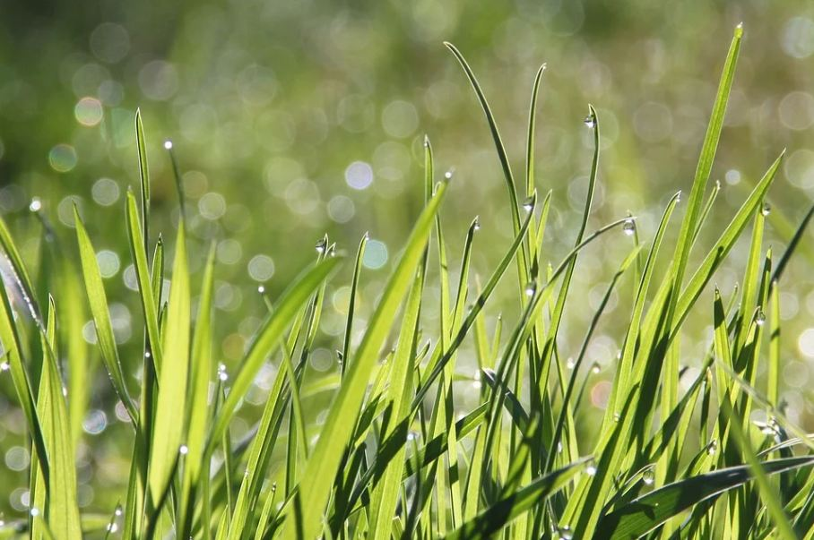 A close-up picture of morning dew on lush-green grass.