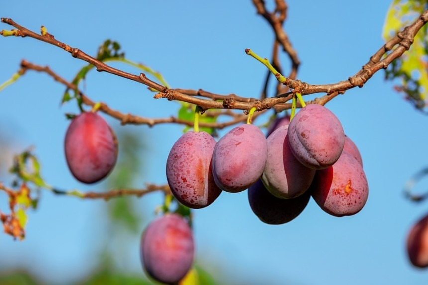 A set of plum fruits in a plum tree